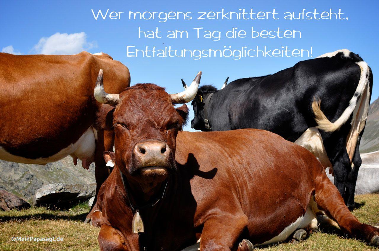 Kühe in den Alpen mit dem Spruch: Wer morgens zerknittert aufsteht, hat am Tag die besten Entfaltungsmöglichkeiten!