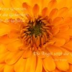 Nahaufnahme eines Blütenkelches der Chrysantheme mit dem Bergman Zitat: Es gibt keine Grenzen. Nicht für die Gedanken, nicht für die Gefühle. Die Angst setzt die Grenzen. Ingmar Bergman