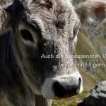 Almkuh am Timmelsjoch mit dem Ringelnatz Zitat: Auch die besessensten Vegetarier beißen nicht gern ins Gras. Joachim Ringelnatz