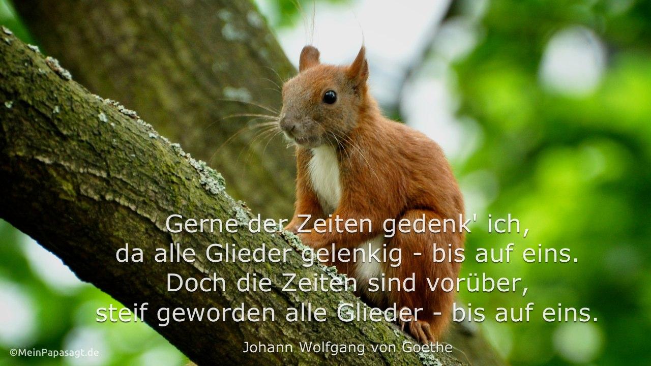 Eichhörnchen im Baum mit dem Goethe Zitat: Gerne der Zeiten gedenk' ich, da alle Glieder gelenkig - bis auf eins. Doch die Zeiten sind vorüber, steif geworden alle Glieder - bis auf eins. Johann Wolfgang von Goethe