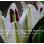 Lilienkelch mit dem Bosmans Zitat: Eine Blume braucht Sonne um Blume zu werden. Ein Mensch braucht Liebe um Mensch zu werden.Phil Bosmans