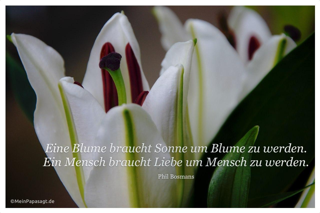 Lilienkelch mit dem Bosmans Zitat: Eine Blume braucht Sonne um Blume zu werden. Ein Mensch braucht Liebe um Mensch zu werden. Phil Bosmans