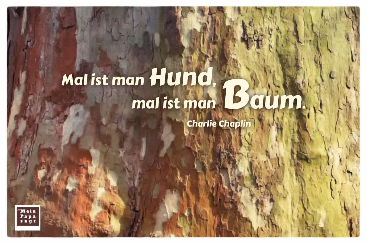 Platane mit dem Chaplin Zitat: Mal ist man Hund, mal ist man Baum. Charlie Chaplin