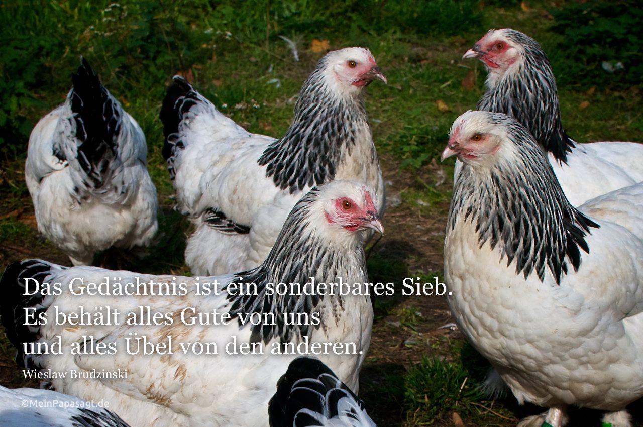 Hühner mit dem Brudzinski Zitat: Das Gedächtnis ist ein sonderbares Sieb. Es behält alles Gute von uns und alles Übel von den anderen. Wieslaw Brudzinski