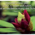 Oleander Knospe mit dem Zitat: Wenn es etwas gibt, wofür zu leben sich lohnt, dann ist es die Betrachtung des Schönen. Platon