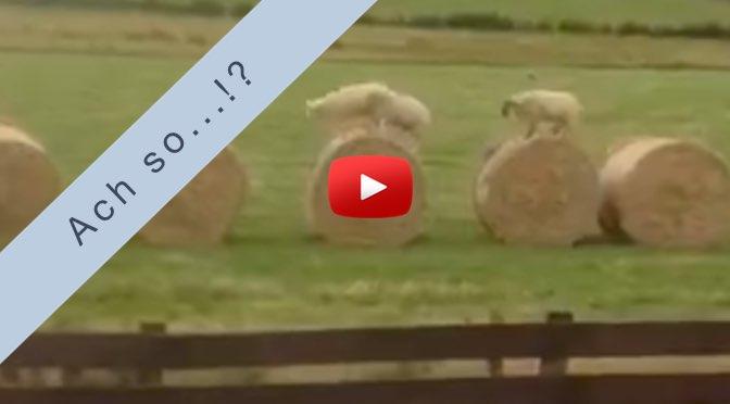 Ach so…!? – </br>Was machen eigentlich Schafe wenn sie sich unbeobachtet fühlen?