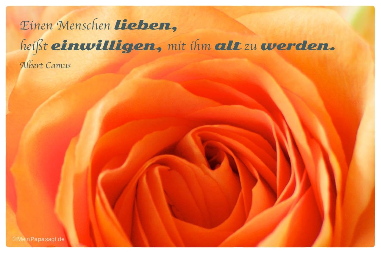 Rose mit dem Albert Camus Zitat: Einen Menschen lieben, heißt einwilligen, mit ihm alt zu werden. Albert Camus