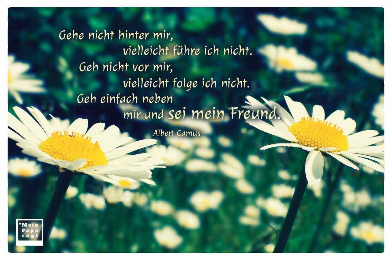Gänseblümchen mit dem Camus Zitat: Gehe nicht hinter mir, vielleicht führe ich nicht. Geh nicht vor mir, vielleicht folge ich nicht. Geh einfach neben mir und sei mein Freund. Albert Camus