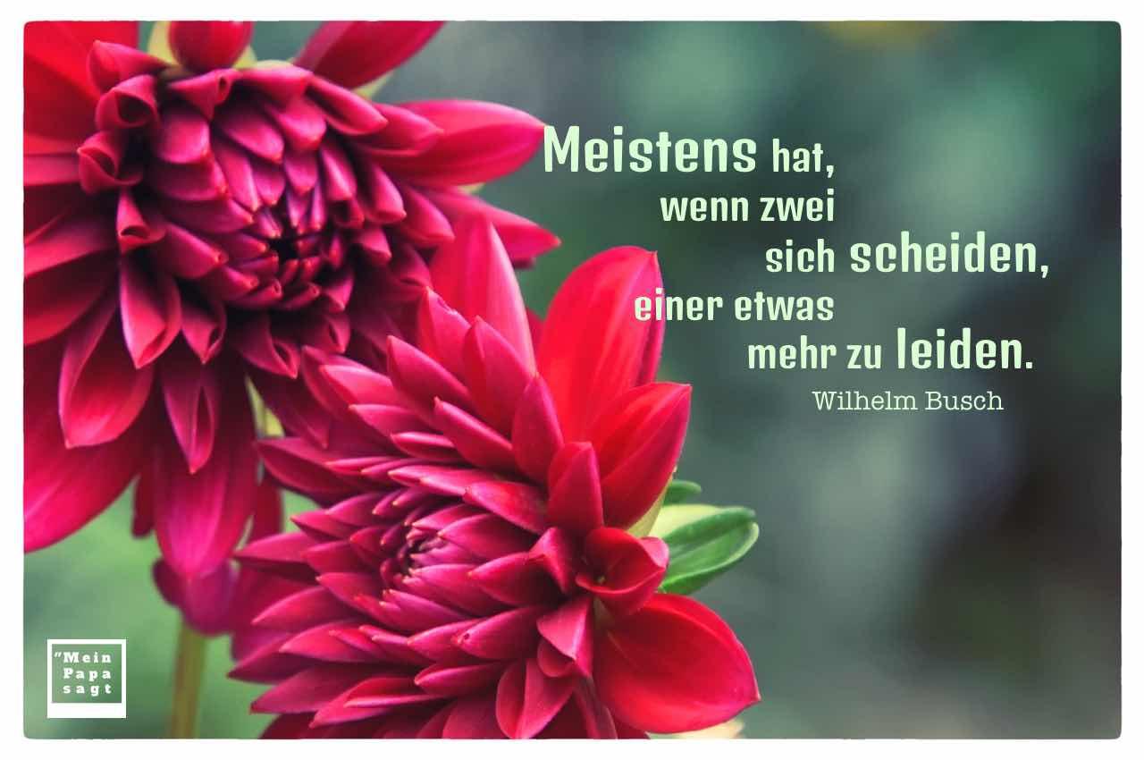 Dahlien mit dem Busch Zitat: Meistens hat, wenn zwei sich scheiden, einer etwas mehr zu leiden. Wilhelm Busch