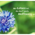 Kornblume mit Ibsen Zitate Bilder: Wo Leben ist, da darf auch Hoffnung sein. Henrik Ibsen