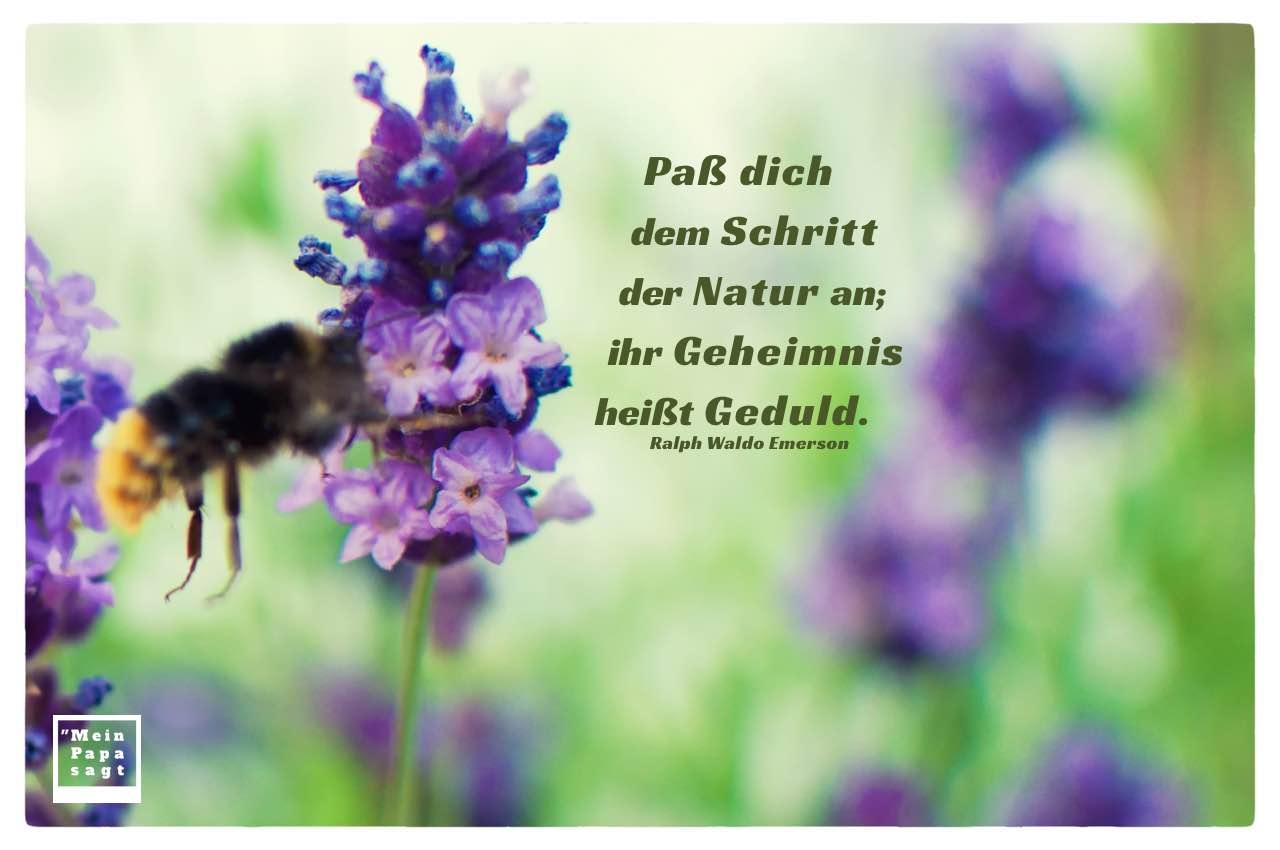 Biene im Lavendel mit Mein Papa sagt Emerson Zitate Bilder: Paß dich dem Schritt der Natur an; ihr Geheimnis heißt Geduld. Ralph Waldo Emerson